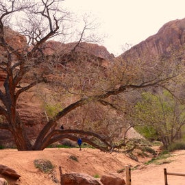 Large tree at the mouth of the canyon