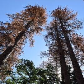 Lots of dry pine trees