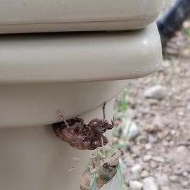 Shedding Cicada
