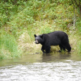 Lots of bears in the area; both black and brown.