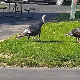 Wild Turkeys running around the campground - they are friendly :-)