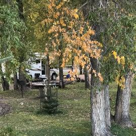 Grove of cottonwood trees