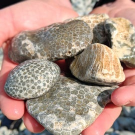 To find these babies, you'll have to kayak around to Fossil Ledges.  You'll be greeted with a motherload of them along the shoreline.