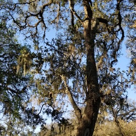 Large trees at our campsite with Spanish moss