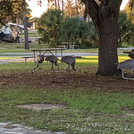 local sandhill crane family