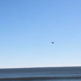 Pelicans fishing off-shore
