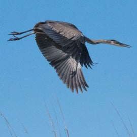 Great Blue Herons are everywhere!