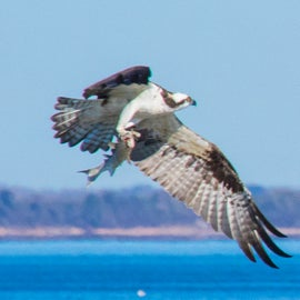 This osprey flew right by our door with a fish!