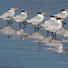 For the Bird Nerds...Royal Terns can be found all up and down this coastline.