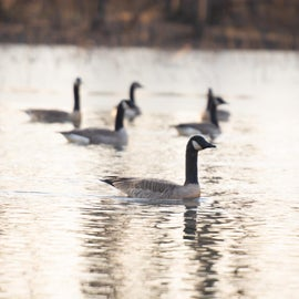 water fowl - Canadian Geese