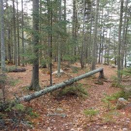 Lot's of fallen trees