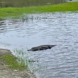 Alligator from the bridge