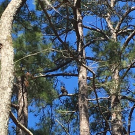 Bald eagle way up high in the pine tree