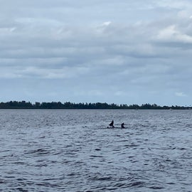 Dolphins in Indian River Lagoon