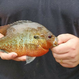 nice Red belly i caught in the Edisto river