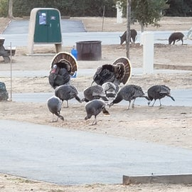 Turkeys and Pigs