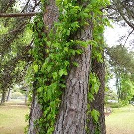 Lots of Poison Ivy around