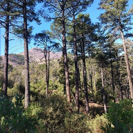 campground pines - lots of Grace's Warblers