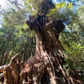 big cedar