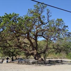 gorgeous old tree