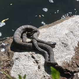 cool snakes getting busy on a rock in the creek