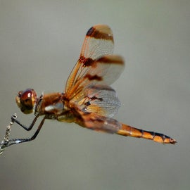 Dragonflies are a common sight at Cedar Point.