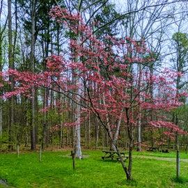 Campsite   Pink Dogwood