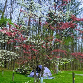 Mixed Color Dogwood