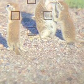 ground squirrel family