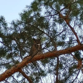 An owl that lives at the KOA