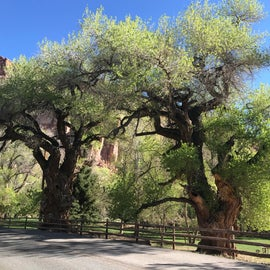 old Growth Cottonwood