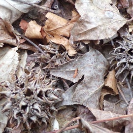 Sweet Gum balls in the leaves.