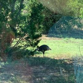 Turkey in park.