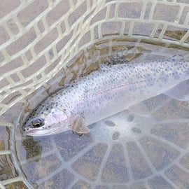One of many caught in Hatchery Creek