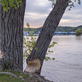 Beaver gnawed tree with a view of the marina