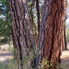 twin pine trees