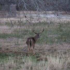 Lots of Bucks with Large Racks
