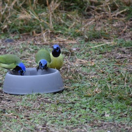 Green Jays eating out of dog bowl