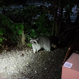 campground raccoon
