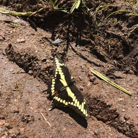 We saw quite a few of these in the park. Butterfly or moth?  Do you know this one?