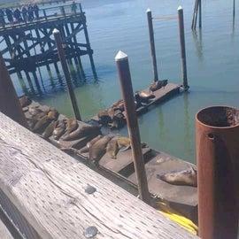 Seals hangout at Newport historic bayfront boardwalk