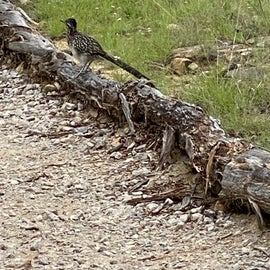 roadrunner frequented our campsite