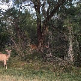 Wild deer 🦌