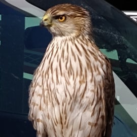 Hawk perched next to my RV window.