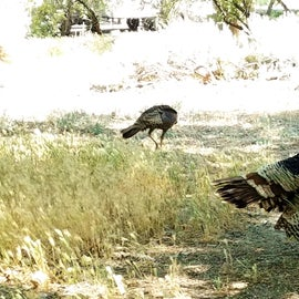 Turkeys roaming around the campground