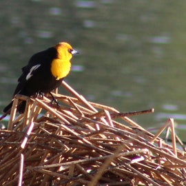 yellow-headed blackbirds are all over