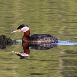 red-headed grebe. do not be fooled by his calm demeanor