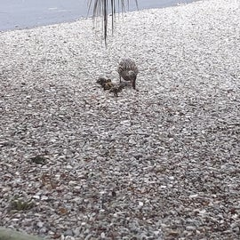 More baby ducks