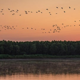 Pelican migration, Feyodi Creek