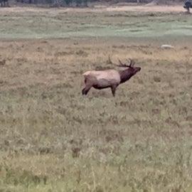 Elk rutting season